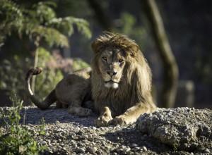Berberlöwe Walter Zoo