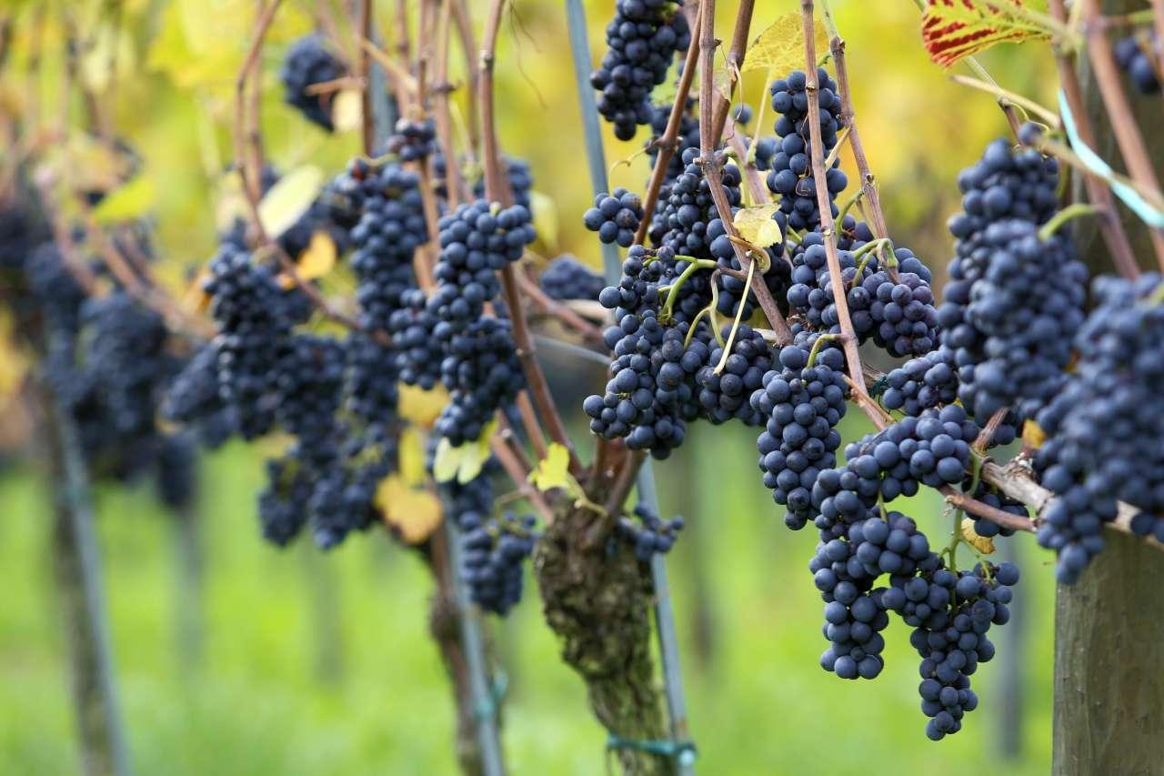 Weinfeste rund um den Bodensee